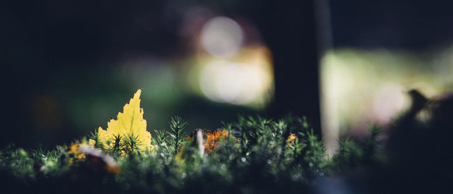 Autumn Beauty In Nature Between The Moss Bokeh Bokeh Balls Close-up Color Colors Depth Of Field Fall Film Look Forest Fragility Freshness Grain Leaf Manual Moss Scenics Selective Focus Shallow Surface Level Tranquil Scene Tranquility Yellow Leaf