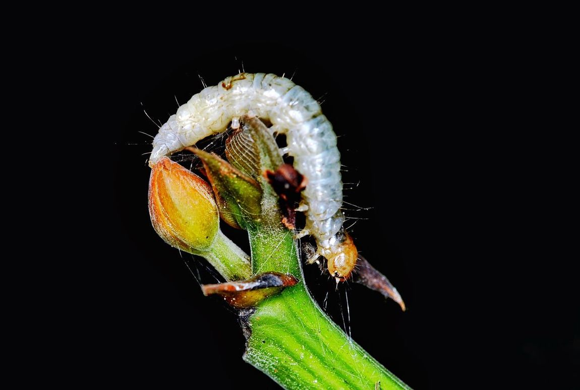 White caterpillar Insect Animals In The Wild Animal Themes One Animal Animal Wildlife Close-up No People Black Background Nature Plant Outdoors Night Flower Macro Nature White Caterpillar