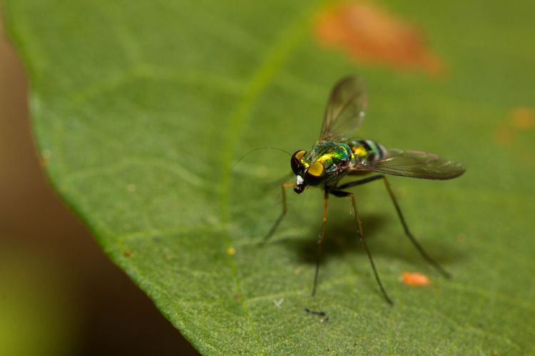 Fly on a leaf. Animal Themes Animal Wildlife Animals In The Wild Close-up Close-up Nature Fly Green Color Influenza Insect Insect Macro  Insect Photography Leaf Macro Macro Photography Macrophotography Nature Nature Nature Photography No People One Animal Plant