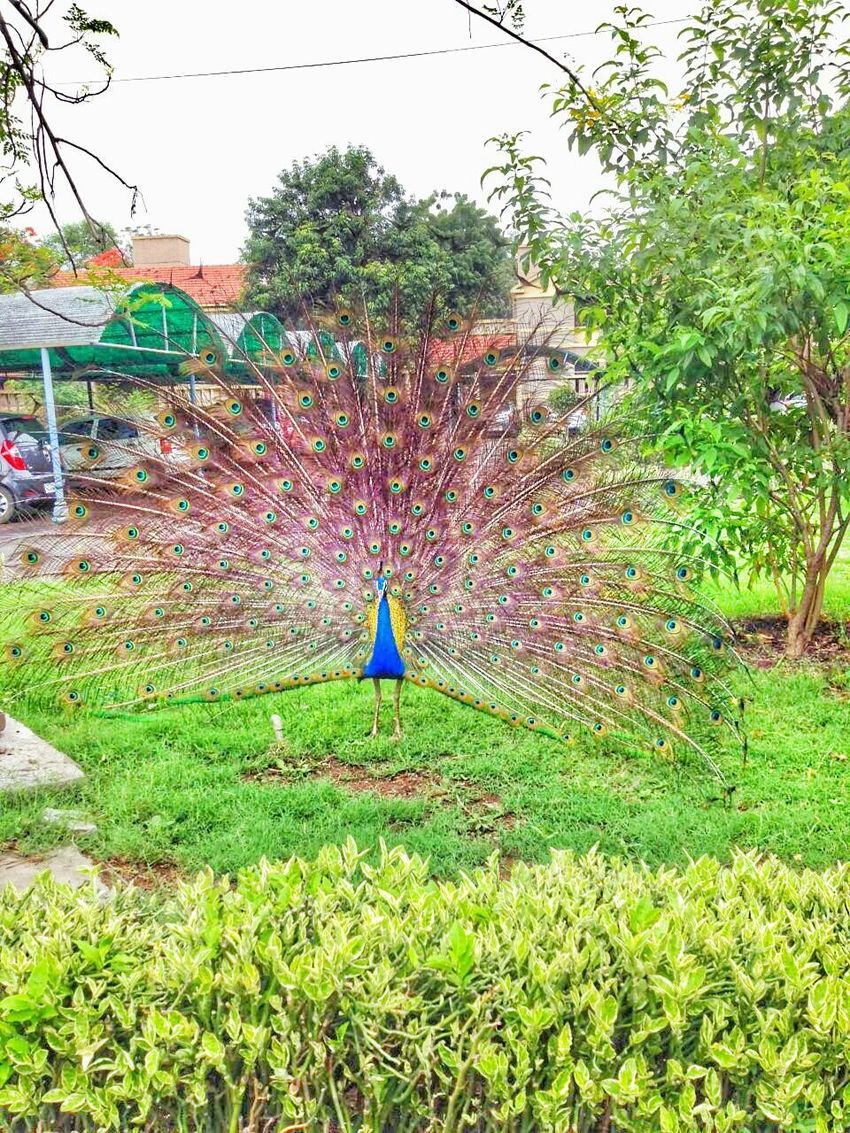 Monsoonseason Welcome Rain Peacock