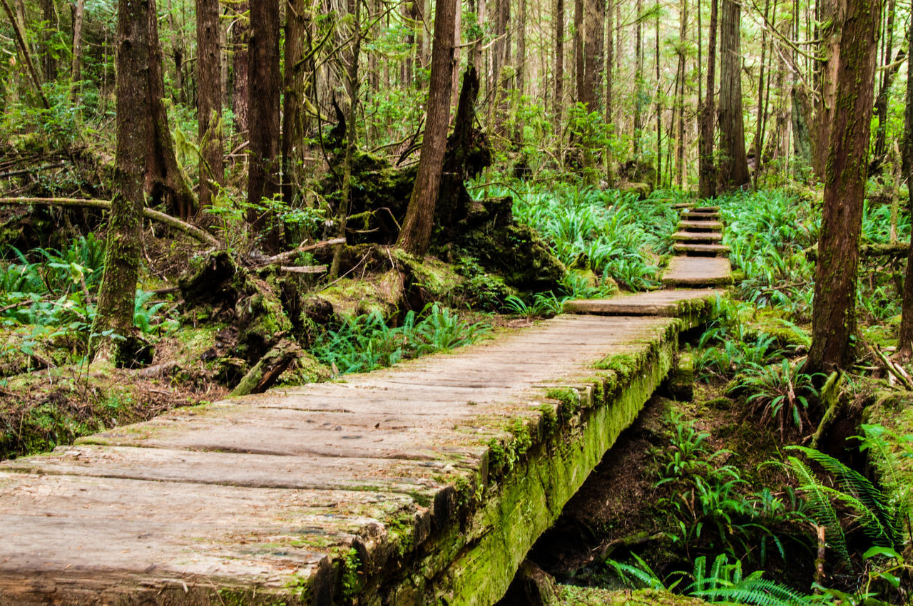 Boardwalk Evergreen Ferns Footpath Forest Green Color Hike Landscape Moss Nature No People Outdoors Plant Scenics Trail Tree WoodLand First Eyeem Photo