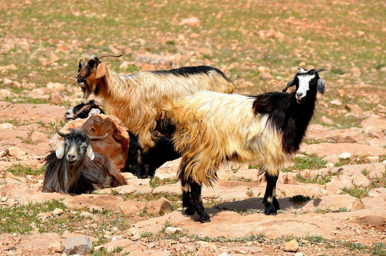 Great Morocco Louktou Nature Wild Mountain National Geographic Goats Mountain Goat