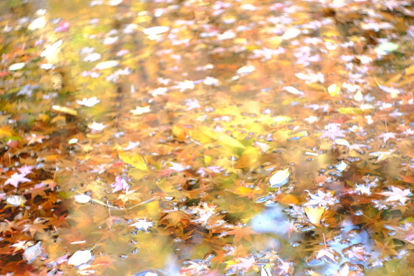 『15:34:25』 2016-12-02 Autumn Leaf Change Multi Colored Nature Water No People Backgrounds Close-up Beauty In Nature Outdoors Underwater Scenics Maple Leaf Day Maple