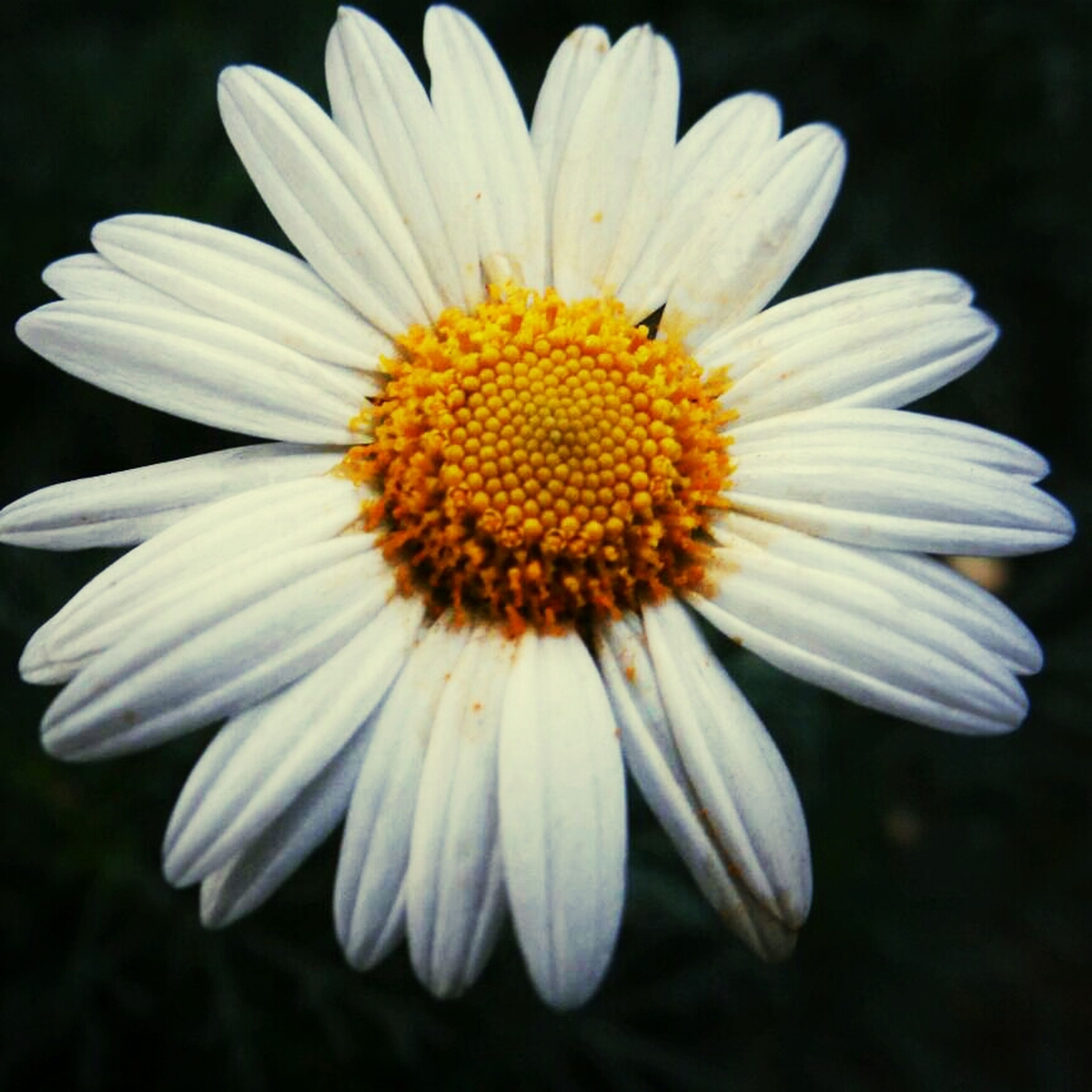 flower, petal, freshness, flower head, fragility, pollen, daisy, close-up, white color, growth, beauty in nature, yellow, nature, blooming, single flower, focus on foreground, animal themes, insect, one animal, plant
