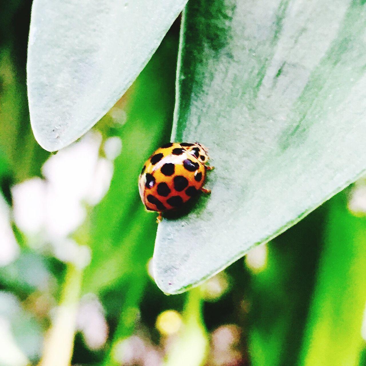 Ladybug Insect Spotted Nature Ladybird Ladybeetle