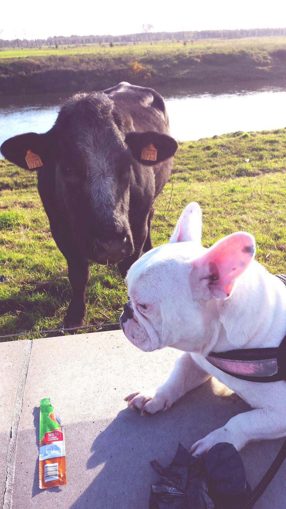 Belgium Maaseik Maas River Friends Bulldog Sunny Day Control