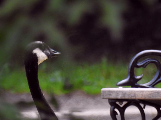 Animal Body Part Animal Head  Animal Themes At The Park Bench Bird Bird Photography Canadian Geese Canadian Goose Focus On Foreground Goose Goose Head Grass Green Nature No People Ornithology  Outdoors Selective Focus Silly Bird Silly Goose Wrought Iron