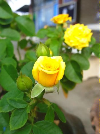 Goodmorning😊 Tinyflowers Yellow Rose Just Smile  Taking Photos Beautyful Day