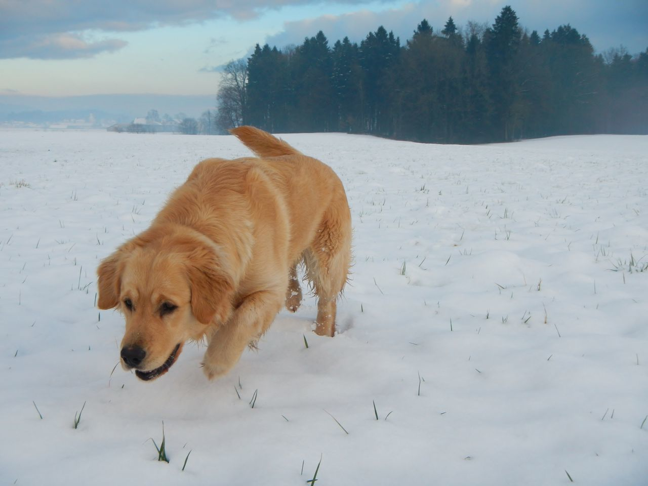 Activity Dog Dog Love Dogs In The Snow Dogs Of EyeEm Dogs Of Winter EyeEm Gallery EyeEm Nature Lover Golden Retriever Jumping ! Natural Beauty Nature Nature_collection Nature On Your Doorstep Nature Photography Nature_collection Outdoor Photography Outdoors Running Dog Snowscape Capturing Movement Photography In Motion