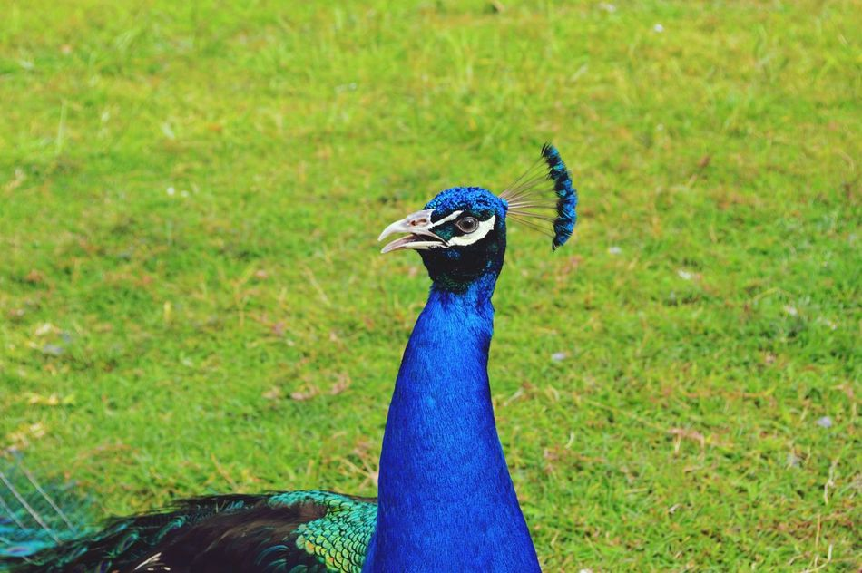 Peacock Peacock Blue Bird Animal Themes Animal Wildlife Outdoors Grass Day No People Nature Close-up Blue One Animal Animals In The Wild Field