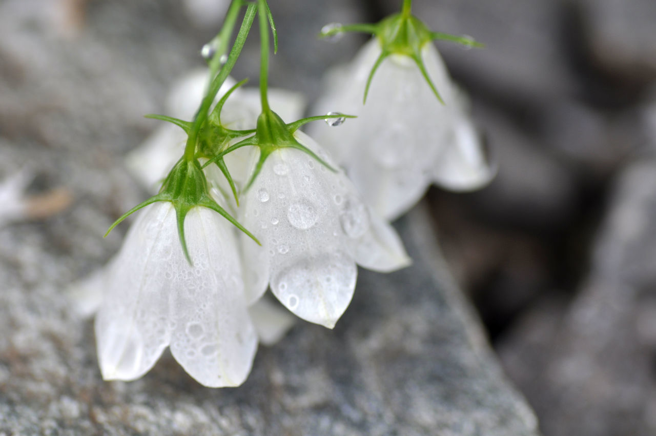 Beauty In Nature Bellflower Close-up Day Flower Flower And Stone Flower Head Fragility Freshness Grace Graceful Growth Leaf Macro Nature No People Outdoors Petal Plant Springtime White Bells