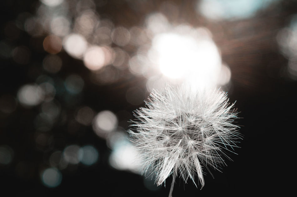 Dandelion Softness Flower Fragility Focus On Foreground Close-up Nature Beauty In Nature No People Outdoors Freshness Flower Head Day EyeEm Indonesia Scenics Low Angle View Macro