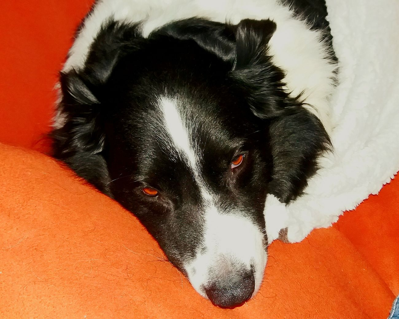 Animal Themes Pets Domestic Animals One Animal Dog Indoors  Close-up Relaxation Mammal Resting Animal Head  Pet Blackandwhite Bordercollie  Australienshepard Border Collie Hütehund Dog Love Lazy Müde Sein Todesblick Red Zoology No People Animal