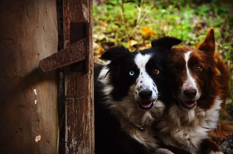 Amateurish Animal Photography Animal Portrait Amateur Photography Amateur Shot Dogs Of EyeEm Sheep Dog Sheep Dogs Dog Portrait Amateur Photographer Heterochromia Heterochromia Iridum Heterochromiairidum Beautiful Eyes Old Building  Ruined Building Nature On Your Doorstep