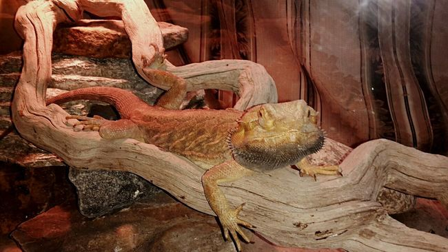 Reptile Pogona Bearded Dragon Hanging Out Living The High Life Nordberg