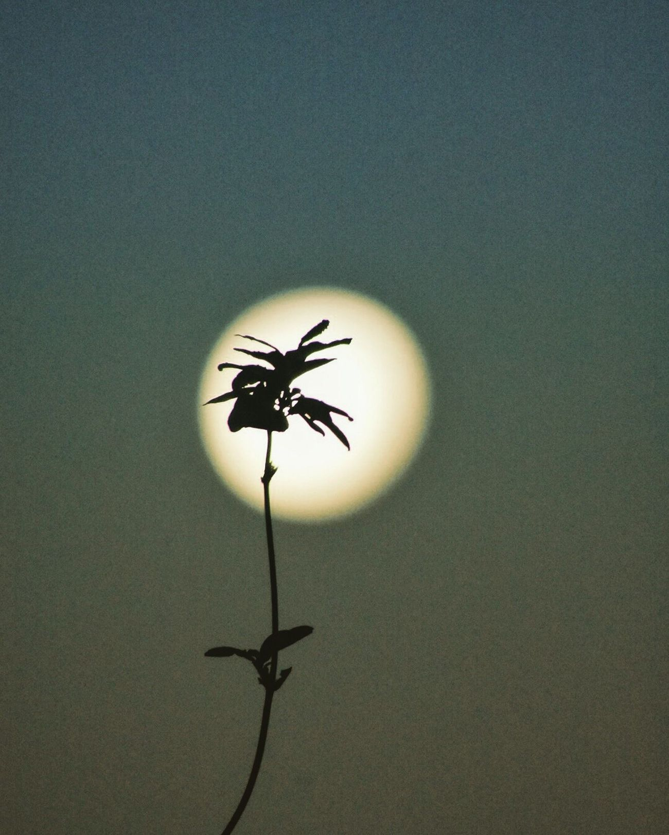 Moon Silhouette Plant Focus On Foreground Stem Insect Close-up Growth Fragility Nature Beauty In Nature New Life Sky No People Tranquility Botany Flower Head Freshness Single Flower Uncultivated Nikonphotography