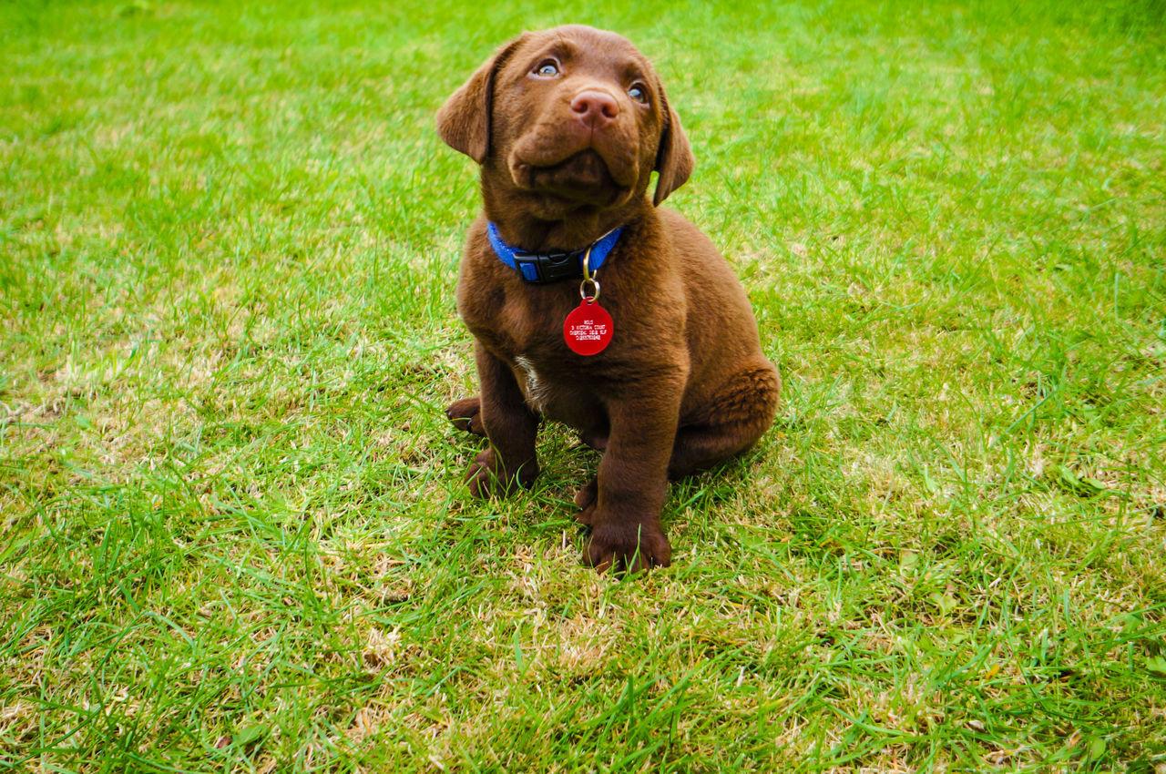 Beautiful stock photos of cute, Animal Themes, Brown, Chocolate Labrador, Cute