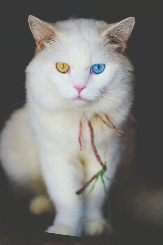 White Persian Odd Eye Cat