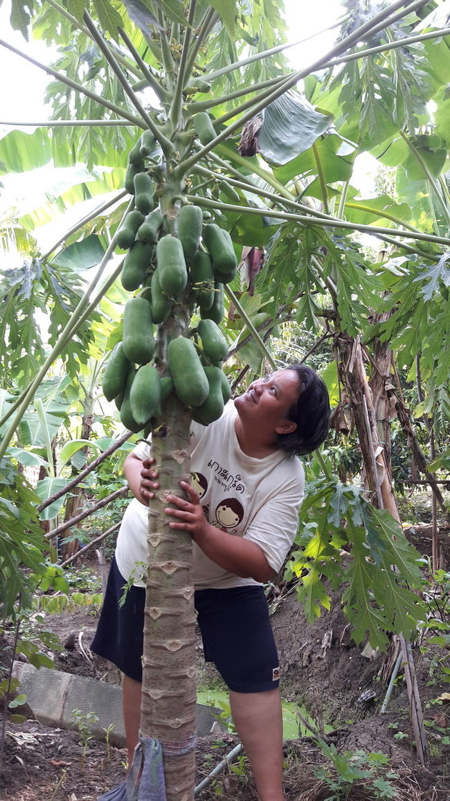 Papaya_tree Papayapokpok Freshness Selective Focus