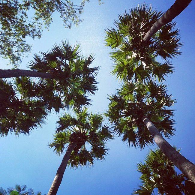 palm tree Palm Mandalay Myanmar Burma Igers Igersmyanmar Igersmandalay Vscocam Vscomyanmar