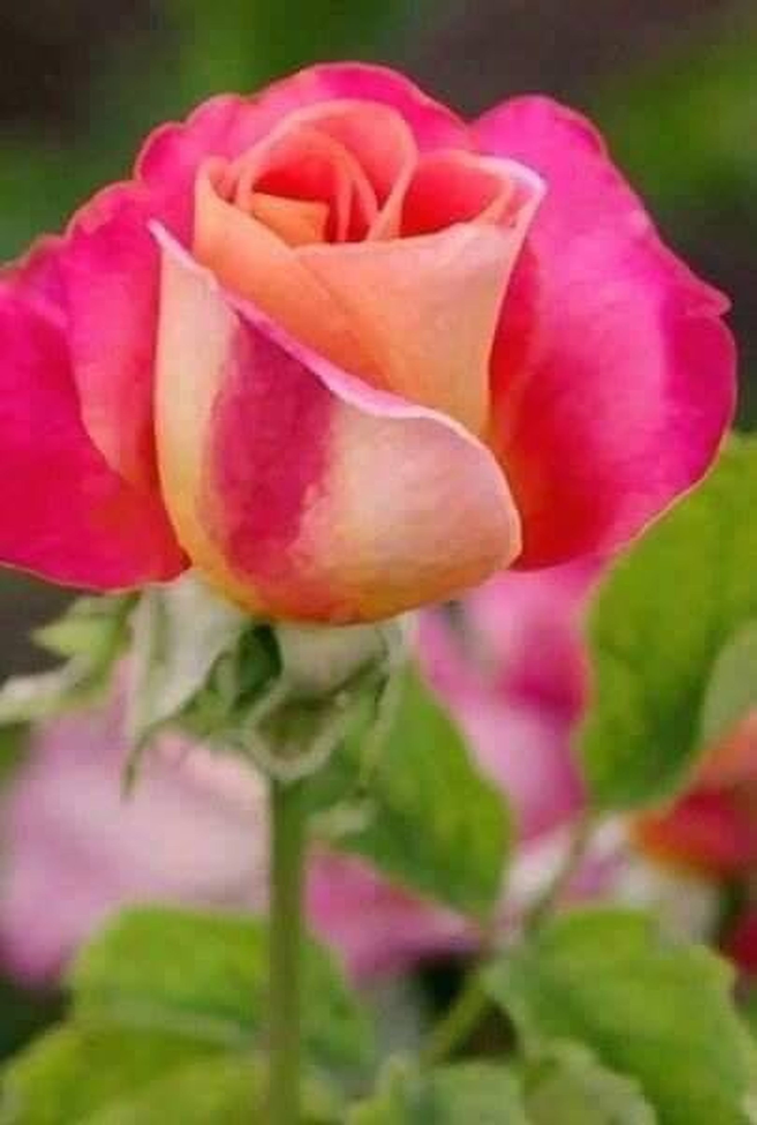 flower, petal, fragility, freshness, flower head, close-up, beauty in nature, rose - flower, pink color, springtime, growth, nature, season, love, macro, in bloom, blossom, natural pattern, stem, vibrant color, selective focus, single flower, botany, plant, rose, focus on foreground, rose petals, softness, single rose, soft focus, day, extreme close-up, bloom