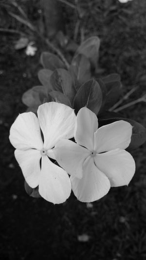 Flowers B&W EyeEm EyeEmNewHere EyeEm Nature Lover EyeEm Gallery EyeEm Selects Nature Nature Photography Nature_collection Blackandwhite Photography Black And White Flower Nature Flower Head Plant Petal Beauty In Nature Growth Close-up Fragility Outdoors Day