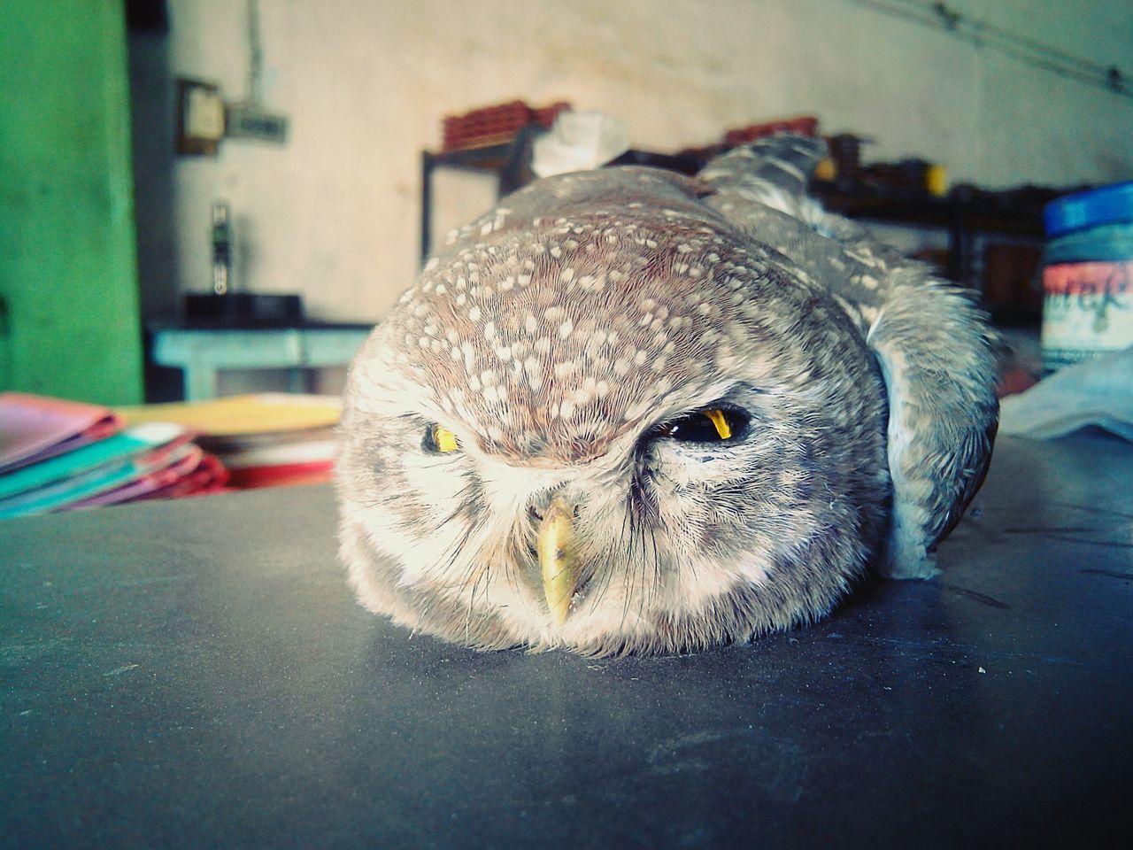 Owl Eyes Owl OWL Shoot