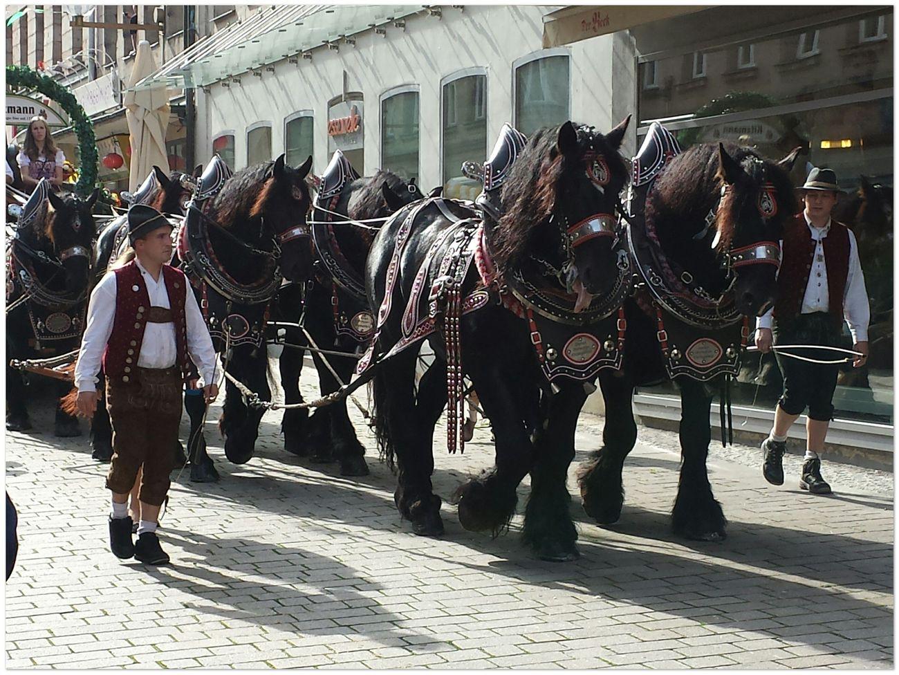 harvest procession - six team of black workhorses Street Photography I Love Horses Enjoying Life Animal