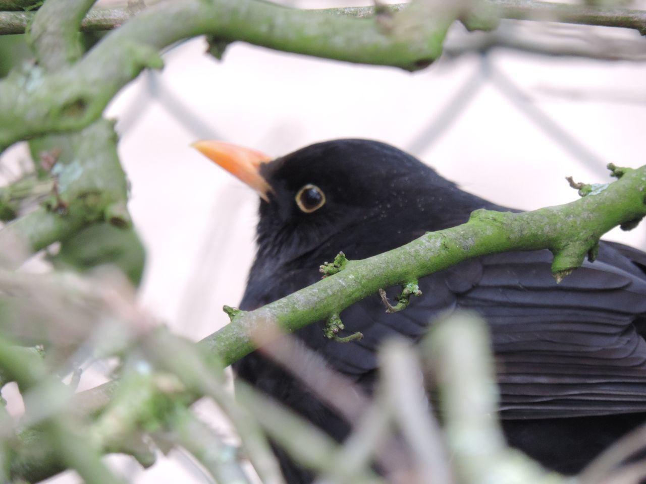 Amsel Animal Themes Animal Wildlife Animals In The Wild Beak Bird Bird Photography Birds Black Bird Black Eyes Branch Close-up Day Fat Bird Hidden Mammal Nature Nest No People One Animal Outdoors Perching Tree Vogel Wood