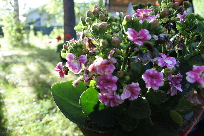 Botany Close-up Day Flower Flower Head Focus On Foreground Fragility Freshness Green Color Growing Growth No People Petal Pink Color Plant Purple