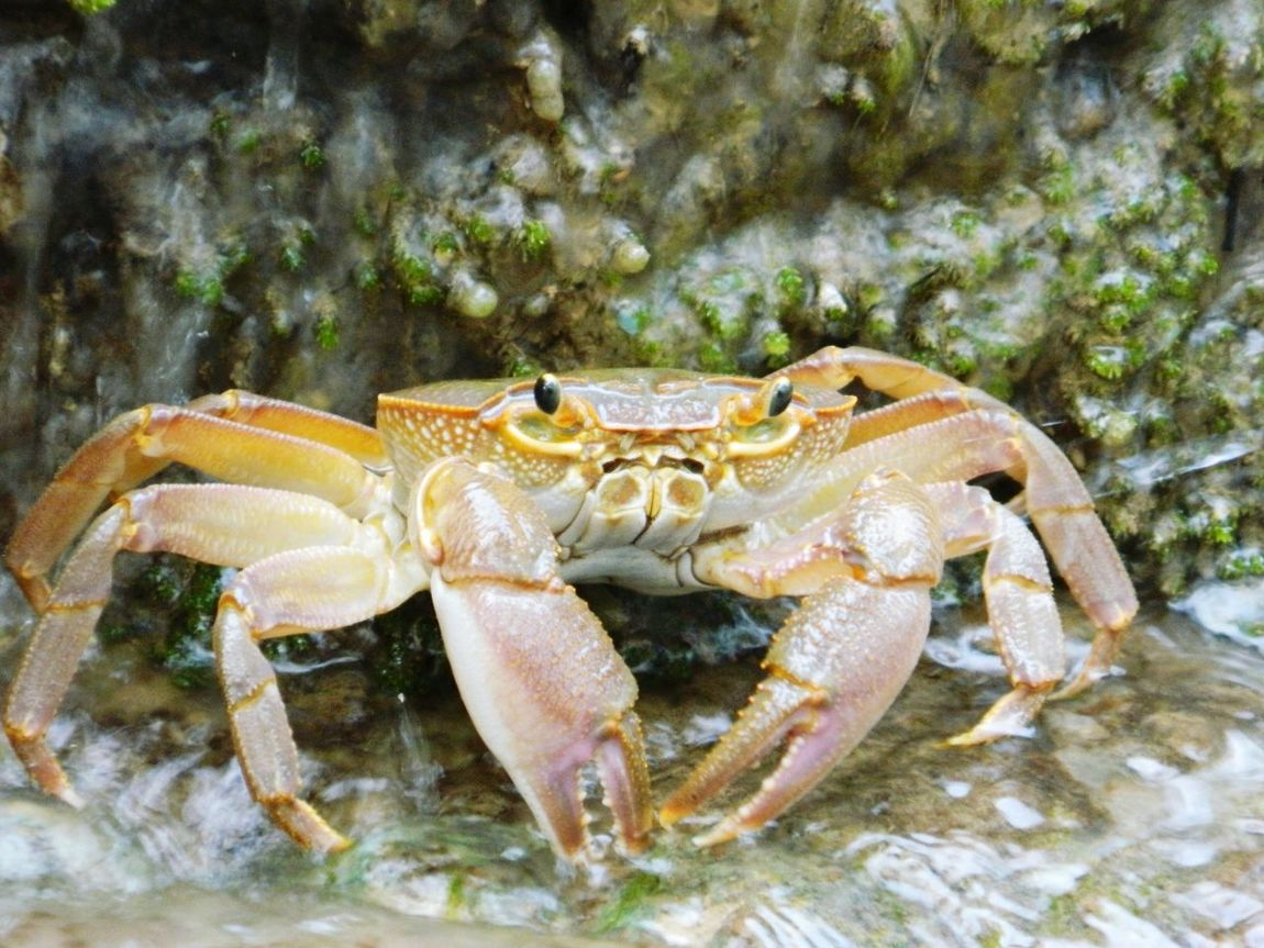Mr Crab Pastel Power Big Eyes Crab Fresh Water Crab