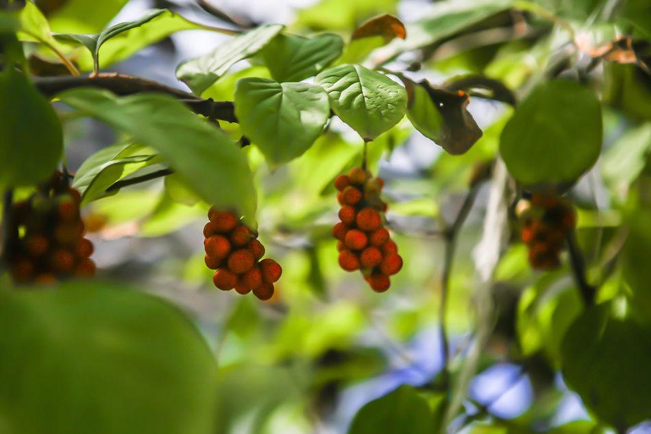 Pyungchang Gangwondo Korea Omija Ore He Color Green Autumn Fall
