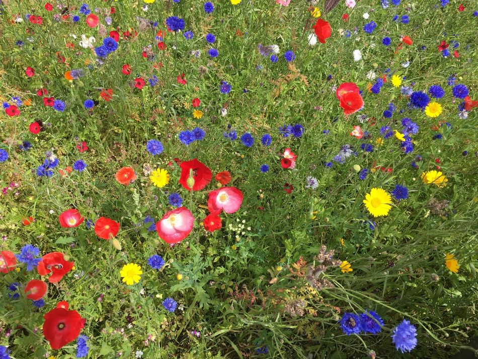 Flower Nature Beauty In Nature Growth Fragility Petal Freshness Multi Colored No People Flower Head Plant Outdoors Blooming Wildflower Day Poppy Grass
