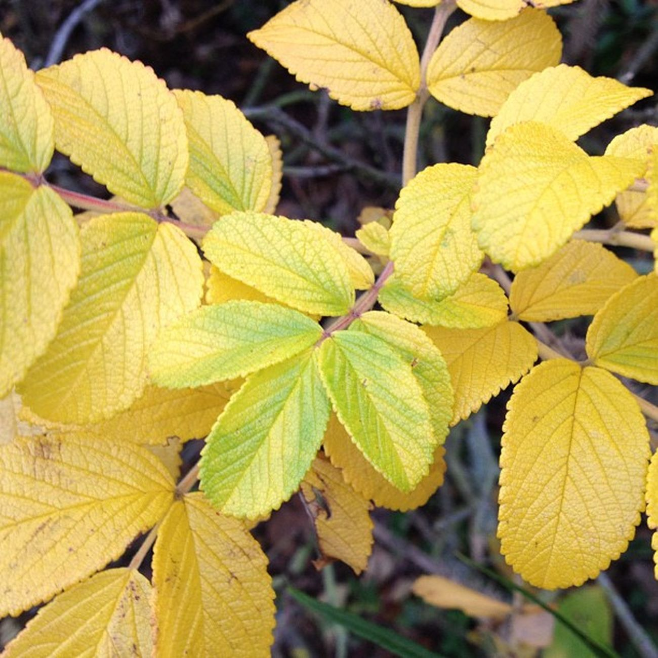 Yellow and Green Leaves Bush plants nature naturalcolours living autumn winter sunderland northeast england nofilter instanow instanature instacapture instafeature