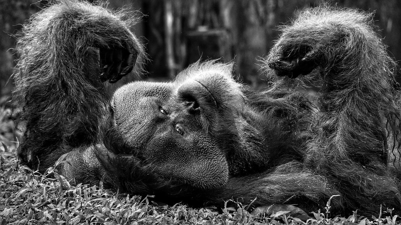 Primate Monkey Ape Animal Themes Mammal One Animal No People Animal Wildlife Outdoors Animals In The Wild Chimpanzee Baboon Close-up Day Nature Sumatran Orangutan Orangutan Ape Primate Live For The Story