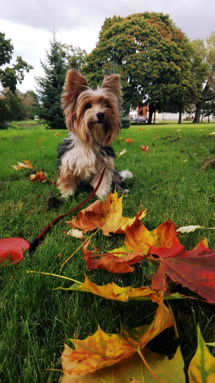 Close-Up Of Dog On Grassy Field At Park During Autumn