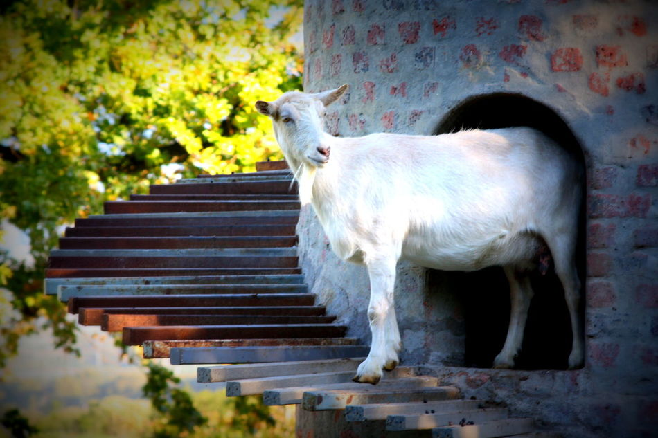 Cape Town Fairview Goat Goat Tower No People One Animal Outdoors South Africa