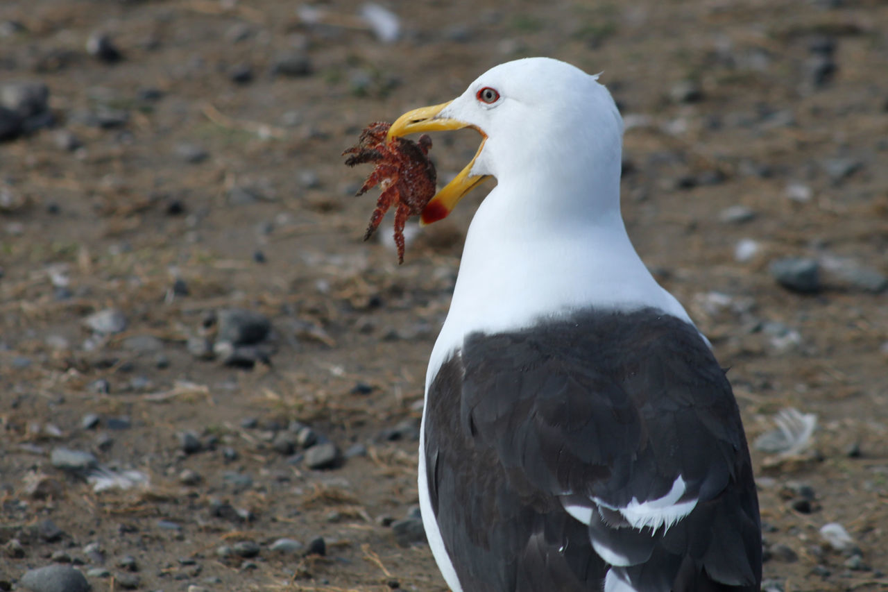 A seagull catches a red crab for its dinner on Isla Magdalena near Punta Arenas, Chile Animal Head  Avian Beak Beauty In Nature Bird Birds Black Color Catch Close-up Crab Crustacean Day Dinner Feather  Focus On Foreground Hunting Nature No People Outdoors Portrait Red Red Crab Seagull Selective Focus Wildlife