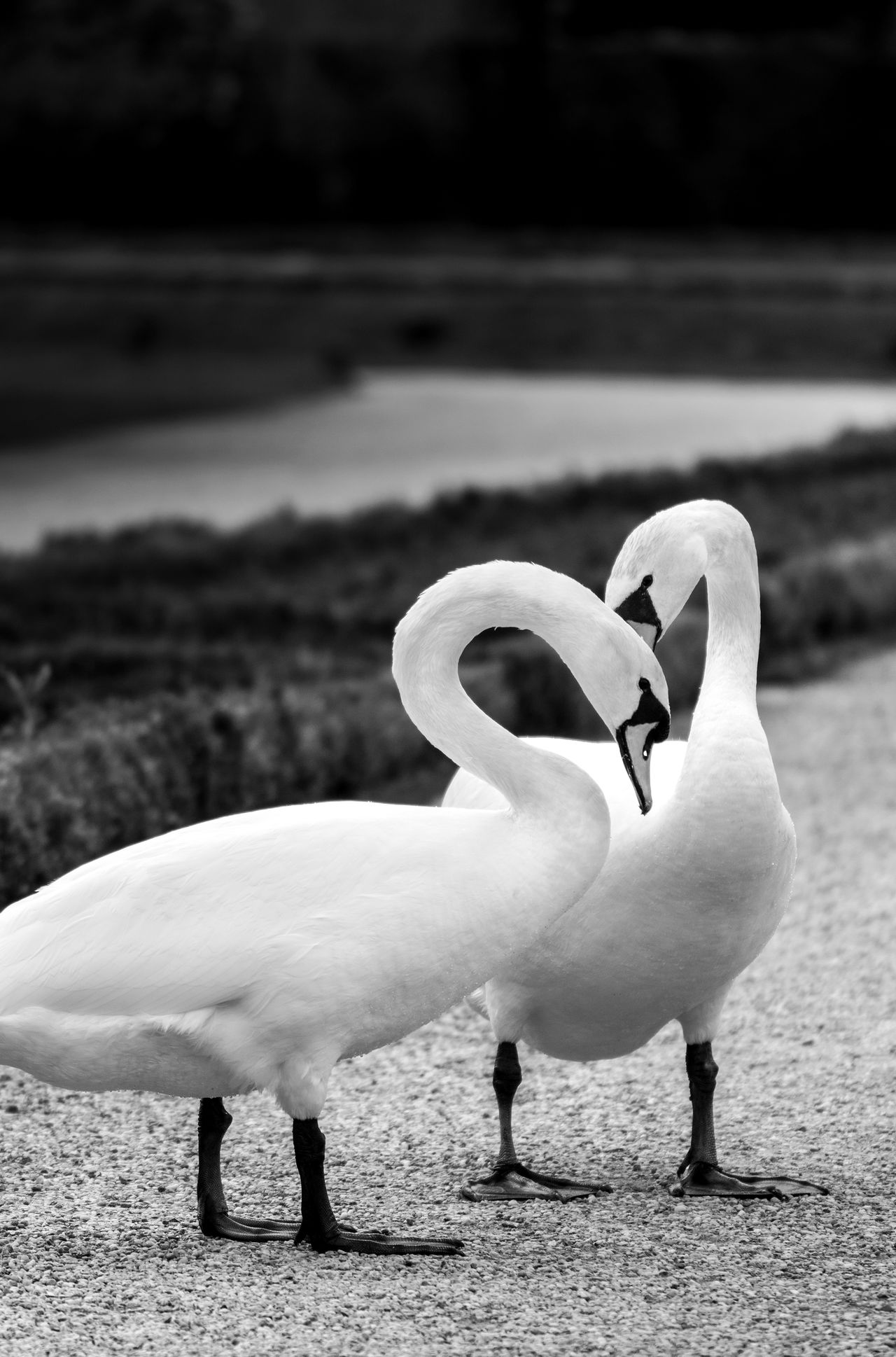 Animal Themes Animal Wildlife Animals In The Wild Beauty In Nature TCPM Bird Black & White Black And White Black And White Photography Falling In Love Blackandwhite Photography Charm Close-up Day Graceful Gracefulness Lake Loveliness Nature No People Outdoors Swan Swimming Water Water Bird