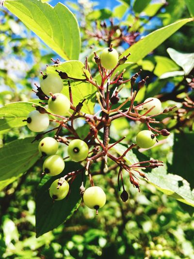 Berries Fruit Tree Day Growth Food And Drink Leaf No People Outdoors Food Nature Focus On Foreground Freshness Green Color Branch Close-up Healthy Eating Beauty In Nature daytime Findings