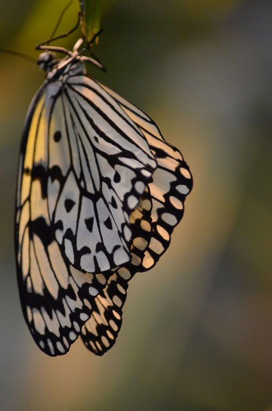 Butterfly Butterfly Pavilion Close Up Focus On Foreground Fragility Insect Natural Pattern Wings