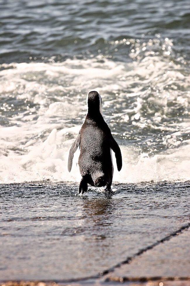 Stoney Point Animal Penguin ♡ Penguin South Africa Wild Life Stone