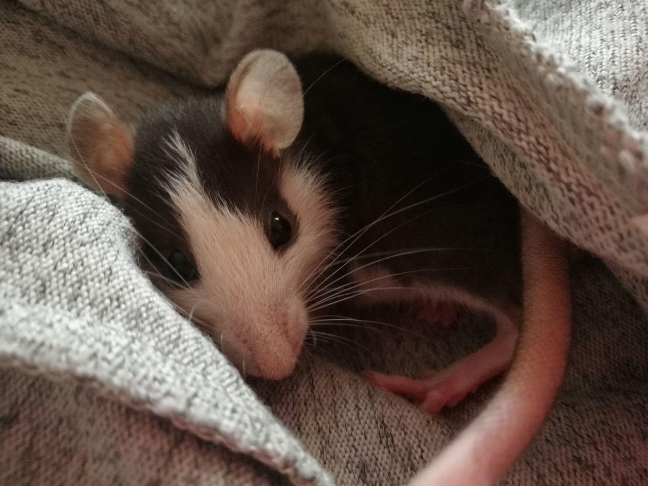 Szczur Gryzoń Ogonek