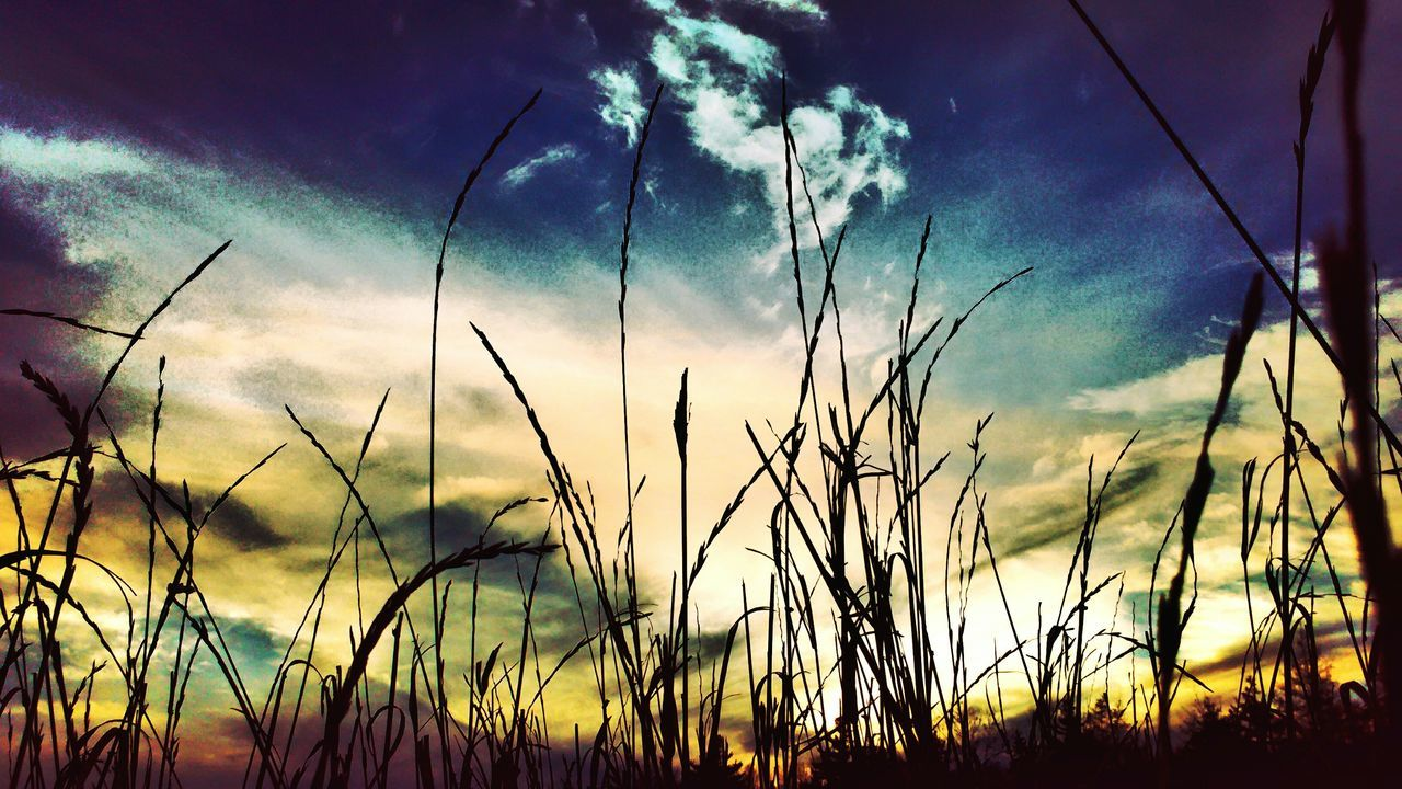 sky, field, growth, nature, cloud - sky, plant, rural scene, no people, agriculture, tranquil scene, tranquility, scenics, crop, beauty in nature, outdoors, low angle view, landscape, cereal plant, sunset, grass, day, flower, close-up