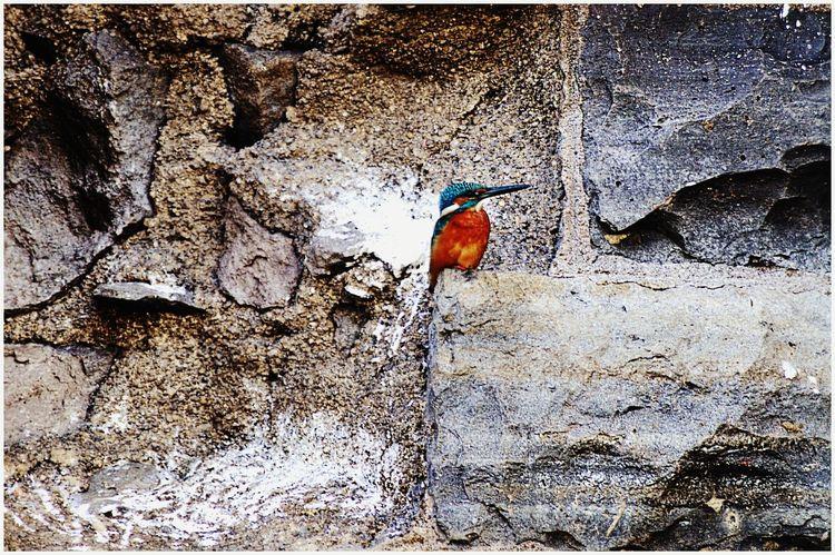 Justclick Kaushalgokarankar'sphotography Travel Photography Outdoors Beauty In Nature Kingfisher Bird Nature