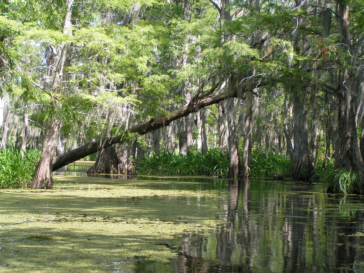 Beauty In Nature Branch Day Growth Lake Nature No People Outdoors Tree Water Louisiana Swamp Louisiana Bayou Bayou Louisiana Green Color