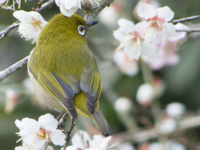 メジロ Birds Nature First Eyeem Photo White-eyes Pentax Q10