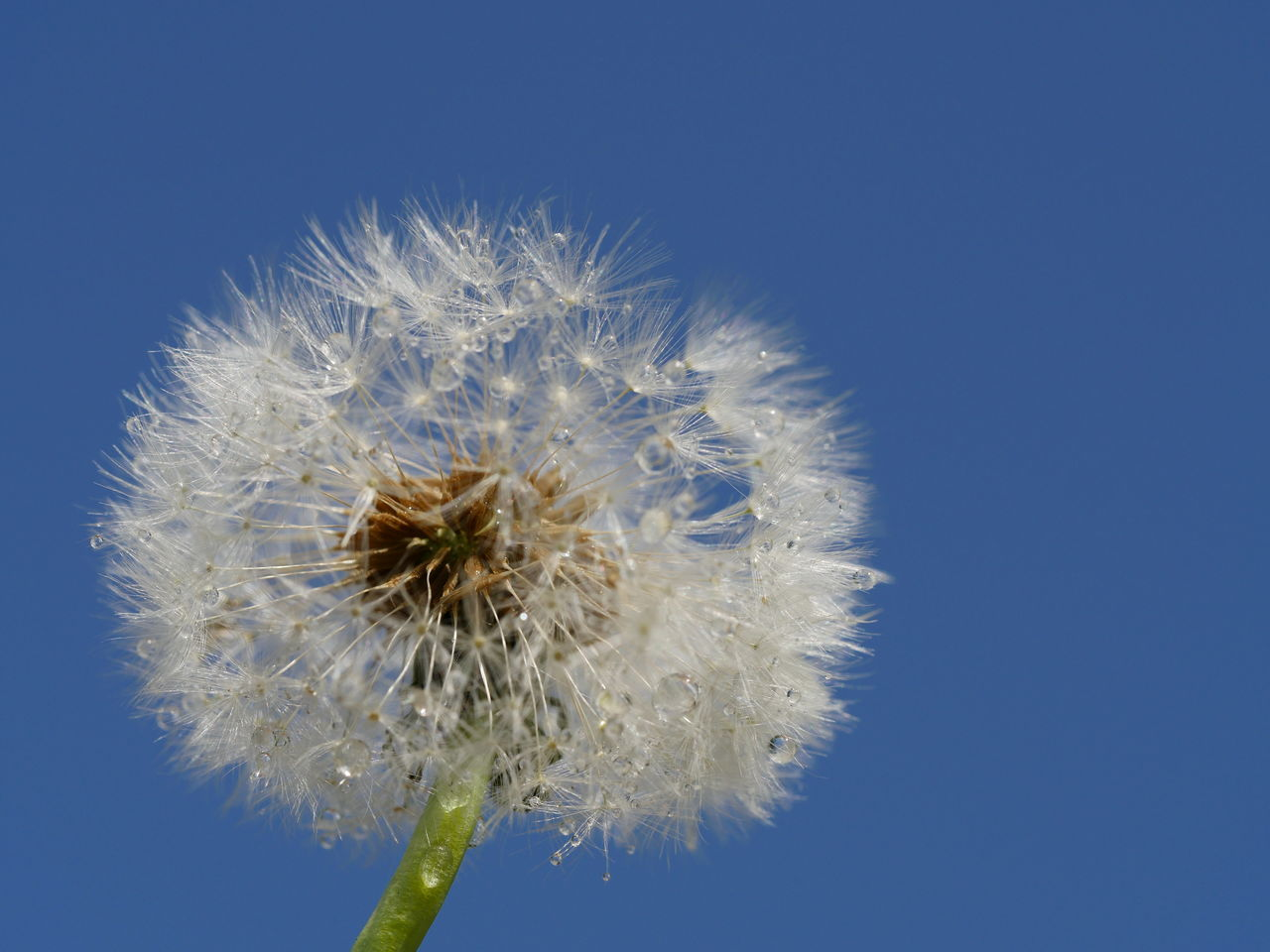 Blue Clear Sky Dandelion Dandelion Seeds Droplets Drops Fragility Freshness Macro Nature No People Outdoors Perspective Softness