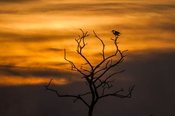 Birds Of EyeEm  Sunset_collection Bare Tree Beauty In Nature Bird Color Dead Tree Lone Nature No People Open Billed Stork Outdoors Sky Sunset Tranquility Tree Yellow