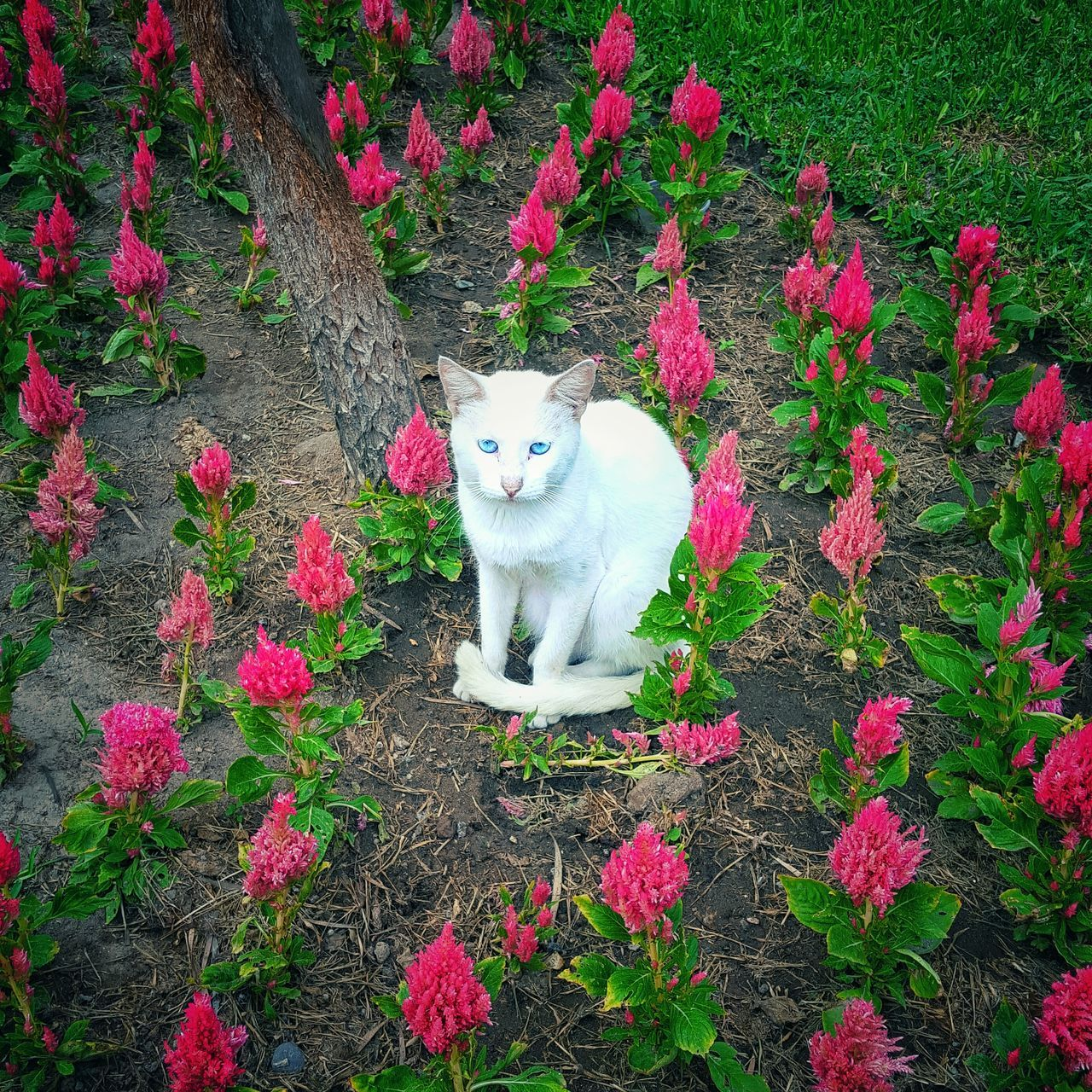 Cat White Cat Blue Eyes Pink Flowers Pink Parquekennedy Peru Peruvian Lima Miraflores Cats Cat♡ Cat Lovers Car